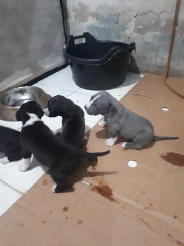 Vendo filhotes de Pitbull 26 dias de nascido