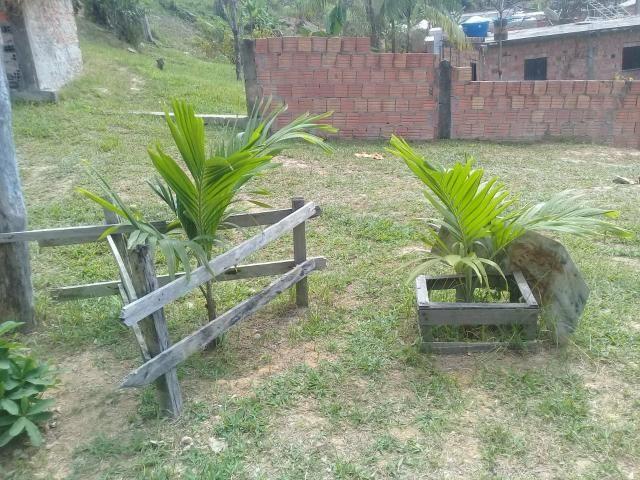 Venda de palmeiras