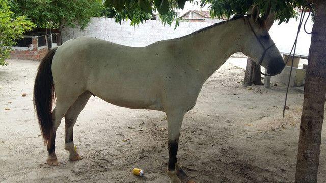 Cavalo Marcha Picada - Foto 3