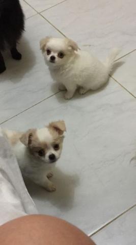 Chihuahua Macho Promoção Pelo Longo