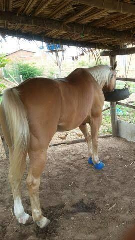 Cavalo Malhado Macho, todas as vacinas em dia