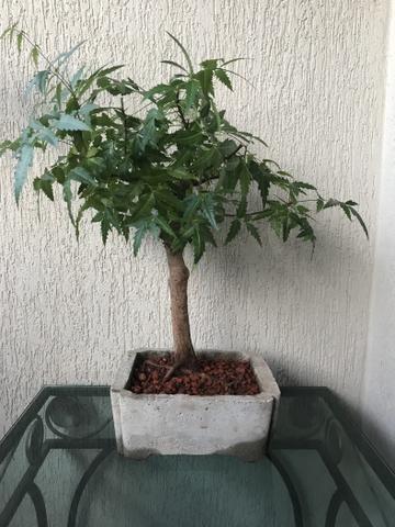 Vendo lindos bonsais