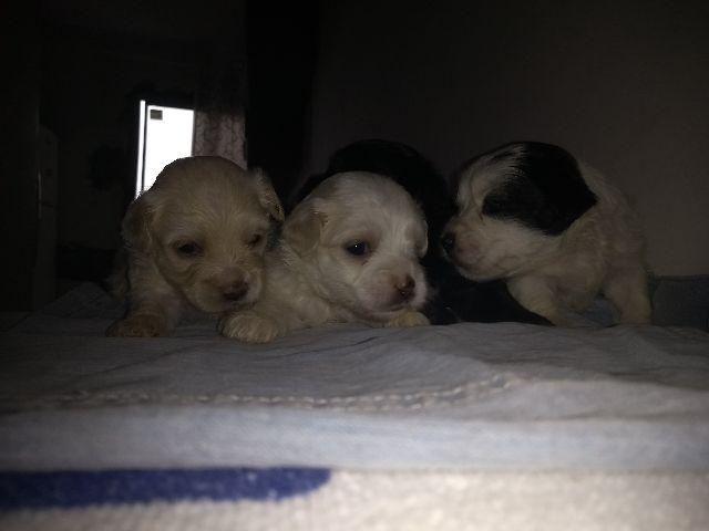 Filhotes de poodle 20 dias de nascido, raça pura