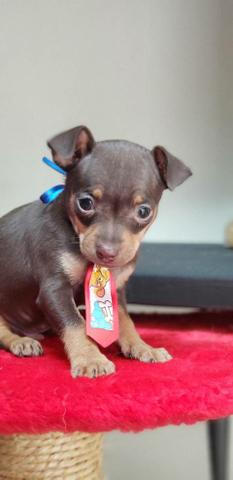 Pinscher chocolate n1 macho