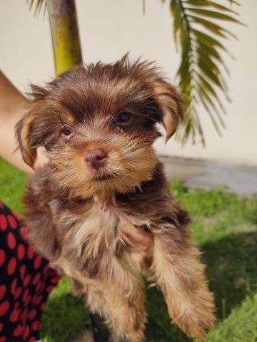 Promoção cachorro Yorkshire  terrier  - Foto 4