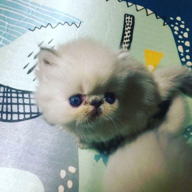 Vendo Gatos Persas - Foto 5