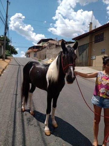 Cavalo Pampa Mangalarga Garanhão - Foto 4