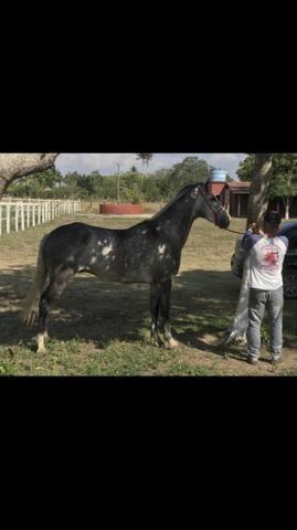 Cavalo de vaquejada ( direita )