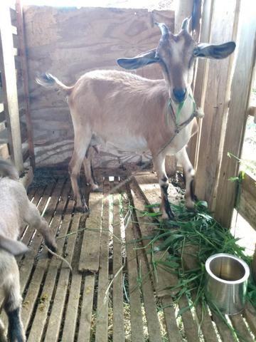 Cabras - Foto 2