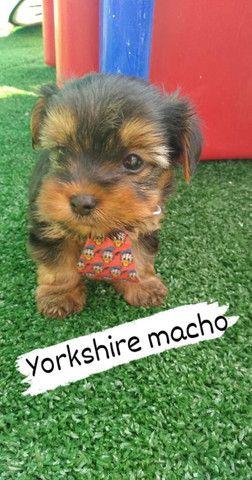 Yorkshire Terrier micro Fêmea e macho - Foto 2