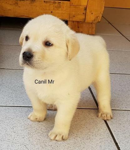 Labrador Pedigree e garantia em contrato - Lindos filhotes - Foto 2