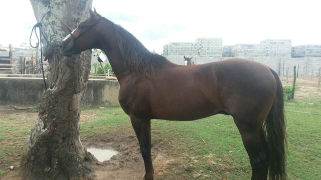 Vendo excelente cavalo Mangalarga Machador.