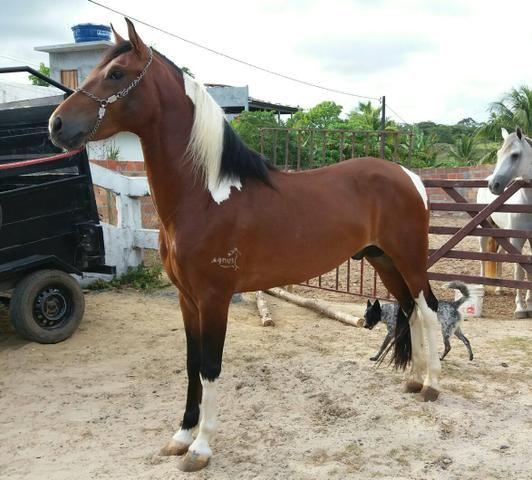 Cavalo Mangalarga Marchador Registrado - Oportunidade!