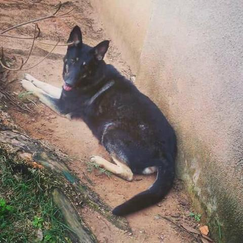 Suficiente Filhotes de Pastor alemao capa preta - Cachorros - Jardim Santo  XO32