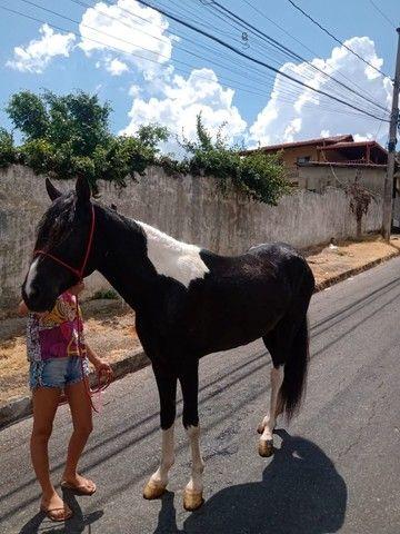 Cavalo Pampa Mangalarga Garanhão - Foto 3