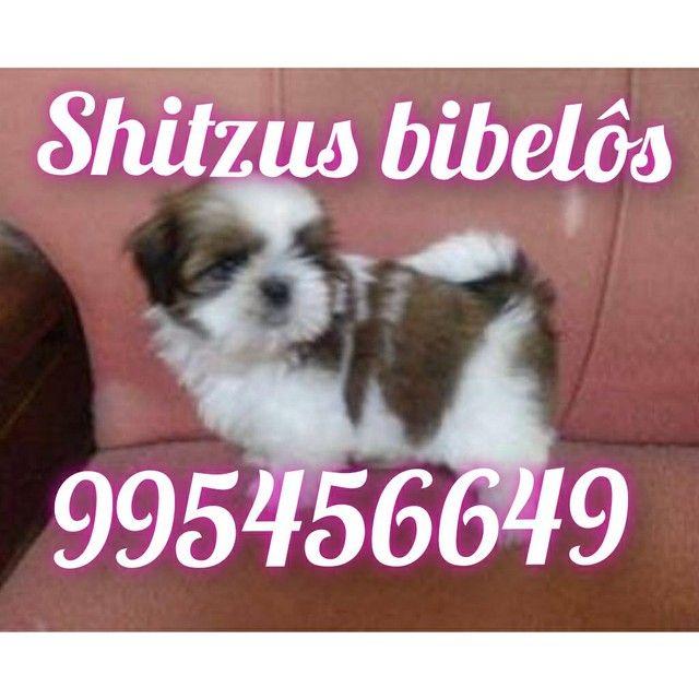 Shitzu mini garantia  alîdo ao bomprre