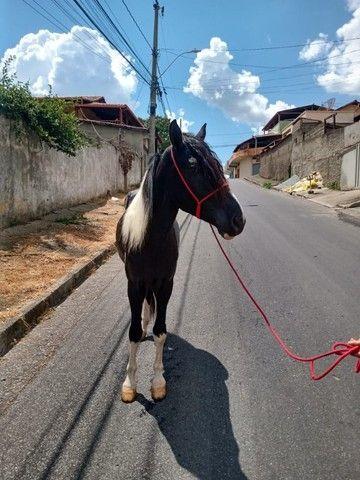 Cavalo Pampa Mangalarga Garanhão - Foto 5