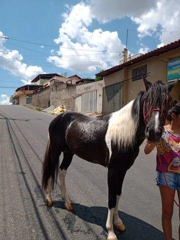 Cavalo Pampa Mangalarga Garanhão - Foto 6
