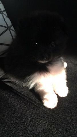 Lulu da Pomerana Tamanho pequeno