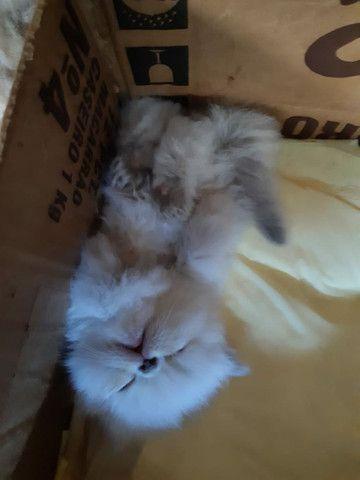 Vendo Gatos Persas - Foto 3