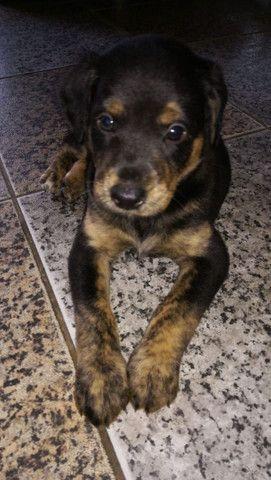 Bebês caninos para adoção - Foto 3