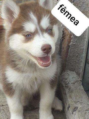 Husky siberiano a vendas