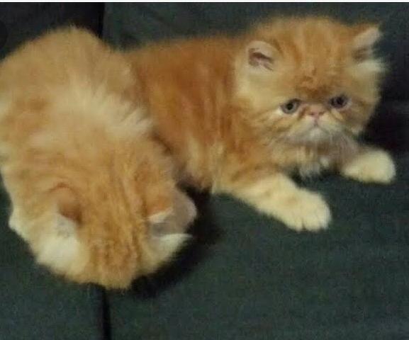 Gato Persa em 4 x S/Juros