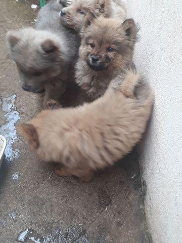 Vendo filhotes de Chow Chow - Foto 3