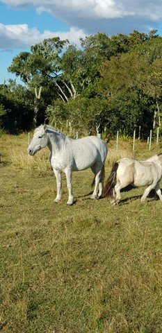 Égua Percheron - Foto 5