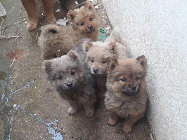 Vendo filhotes de Chow Chow - Foto 2