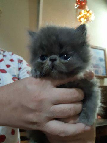 Vendo Gatos Persas - Foto 4