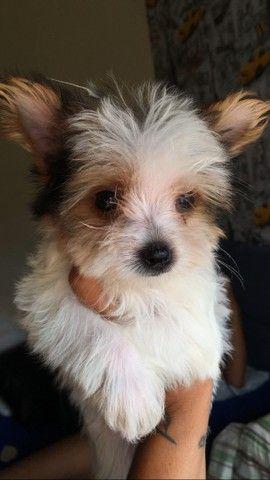 Promoção cachorro Yorkshire  terrier