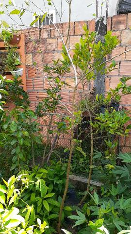 Plantas produzindo - Foto 3