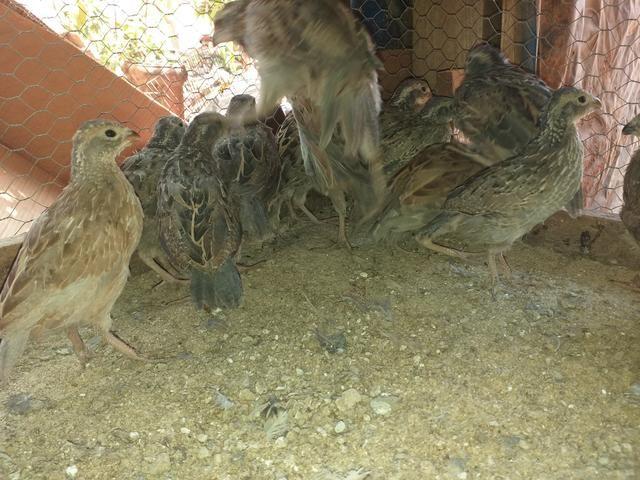 Vendo filhote codorna bob White - Foto 3