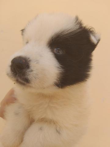 Filhotes de husky siberiano piebald - Foto 5