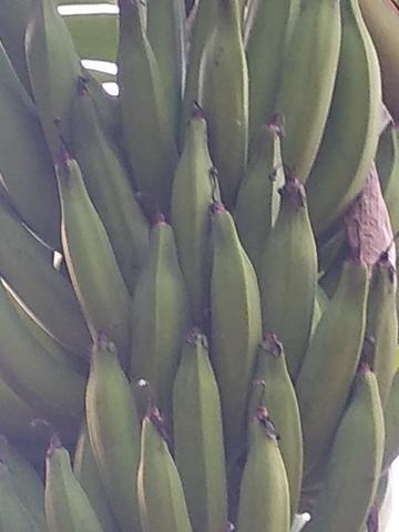 Mudas d banana - Foto 3