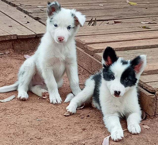 Filhotes de Border Collie com pedigree   - Foto 4