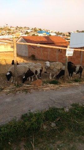 Carneiro Dorper Fêmea Ovelha - Foto 3