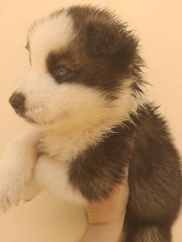 Filhotes de husky siberiano piebald