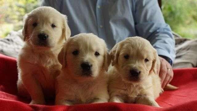 Golden Retriever garantias contra displasia e suporte veterinário gratuito (11) 2670-7784 - Foto 2