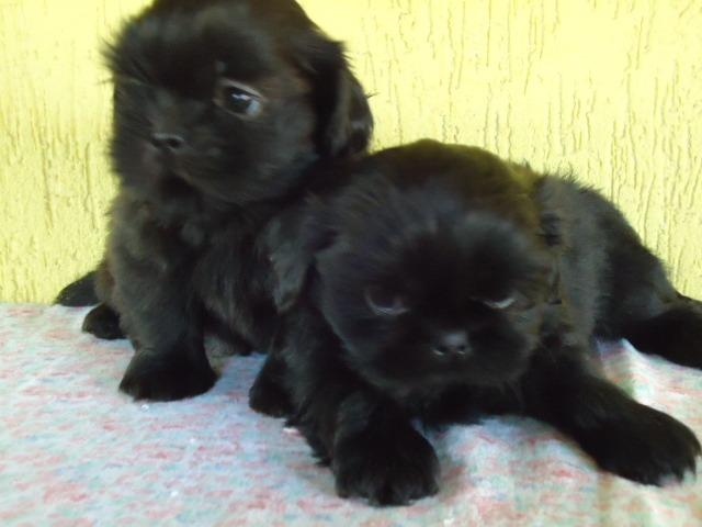 Filhotes Cães Maltês e Shi-Tzu Machinhos-2 Vacinas-Pedigree's Opç - Foto 5