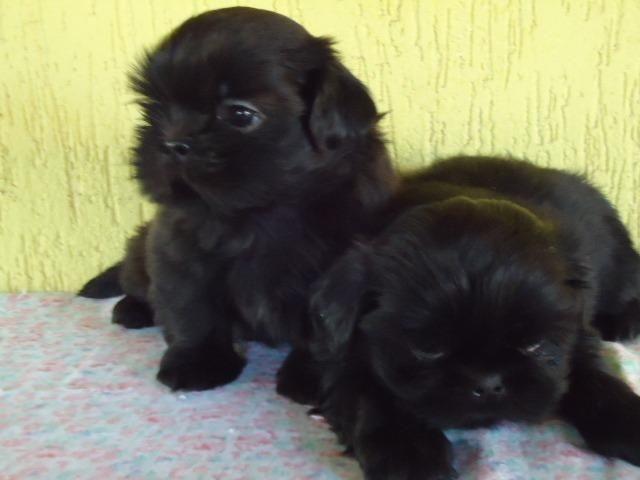Filhotes Cães Maltês e Shi-Tzu Machinhos-2 Vacinas-Pedigree's Opç - Foto 4