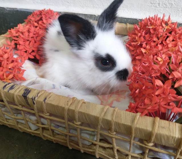 filhotes de mini coelho MiniLion - Foto 4
