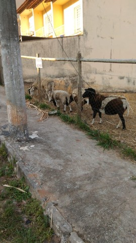 Carneiro Dorper Fêmea Ovelha - Foto 4
