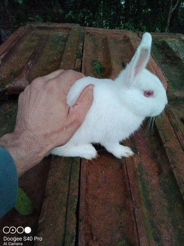 Mini coelho anão Holandês padrão pet. - Foto 5