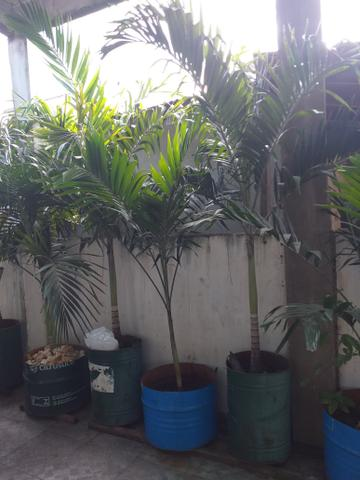 Vendo Palmeira Imperial - Foto 2