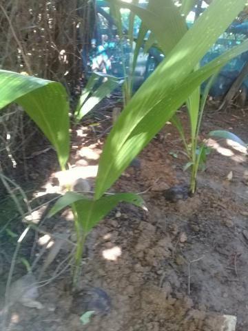 Vende - se mudas de coqueiros anão