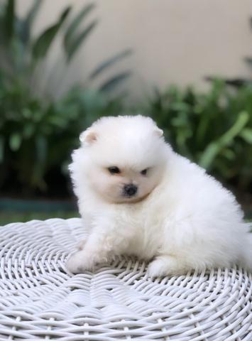 Vende-se macho Lulu da Pomerânia branco