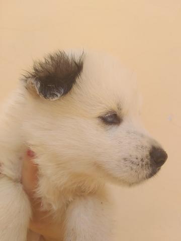 Filhotes de husky siberiano piebald - Foto 6