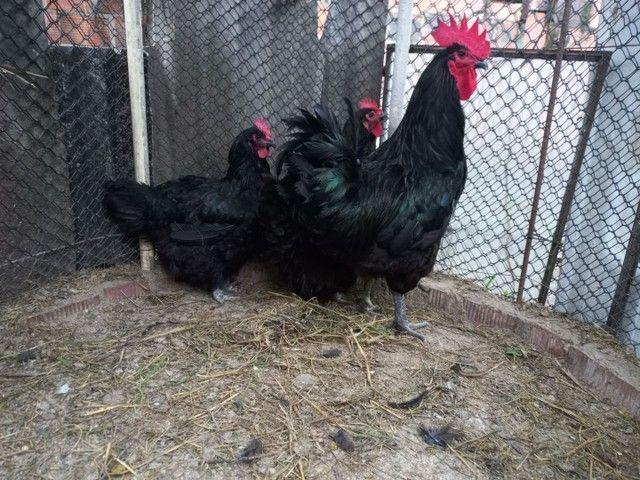 Gigante negro de jessy.ovos galados  e  pintinhos  por encomenda   - Foto 2